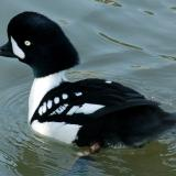 http://flyways.us/duck-identification-resources/duck-id/sea-ducks/barrows-golden